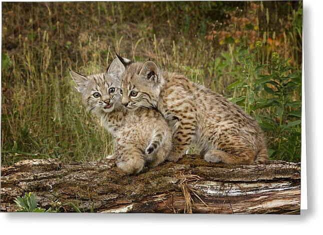 Bobcat Greeting Cards - Precocious Partners Greeting Card by Elaine Haberland