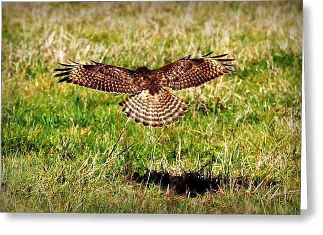 Those Eyes Greeting Cards - Predator Attack Red Shouldered Hawk Landing Greeting Card by Reid Callaway