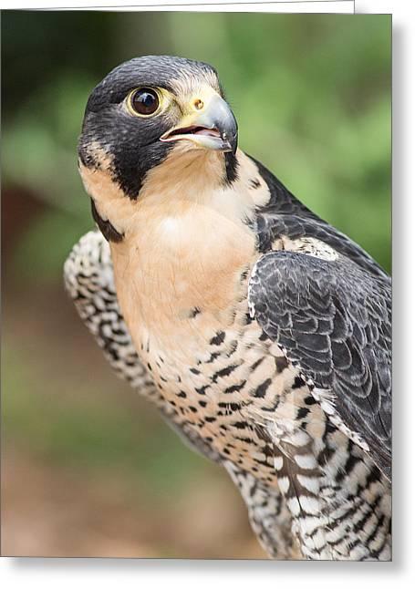 Peregrine Falcon Greeting Cards - Predator Greeting Card by Dale Kincaid