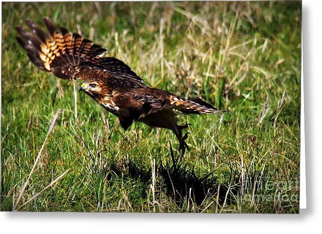 Those Eyes Greeting Cards - Predator Ground Take Off Red Shouldered Hawk Greeting Card by Reid Callaway