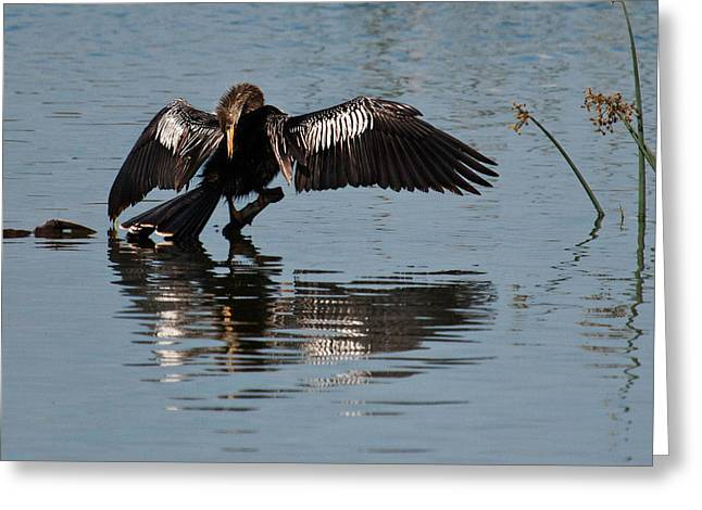 Anhinga Greeting Cards - Preening Anhinga Greeting Card by Dawn Currie