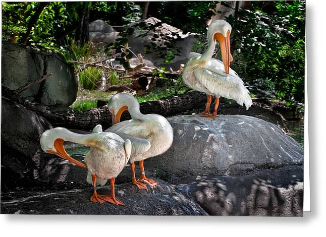 Water Fowl Greeting Cards - Preening Greeting Card by David and Carol Kelly