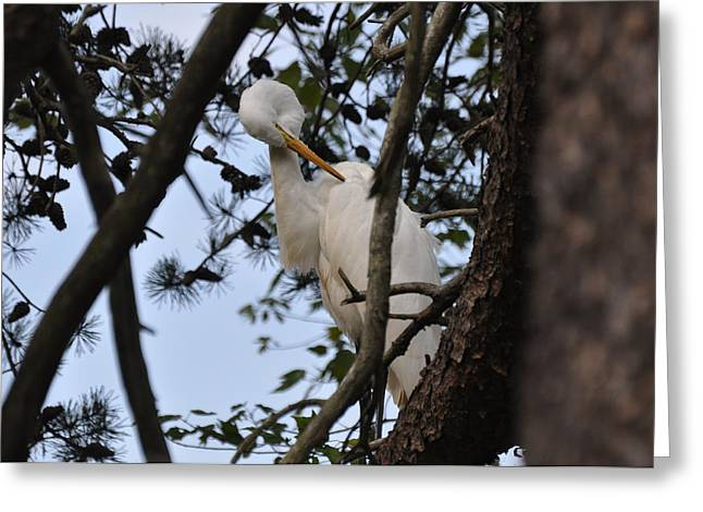 Preening Egret On Branch - 4272a  Greeting Card by Paul Lyndon Phillips