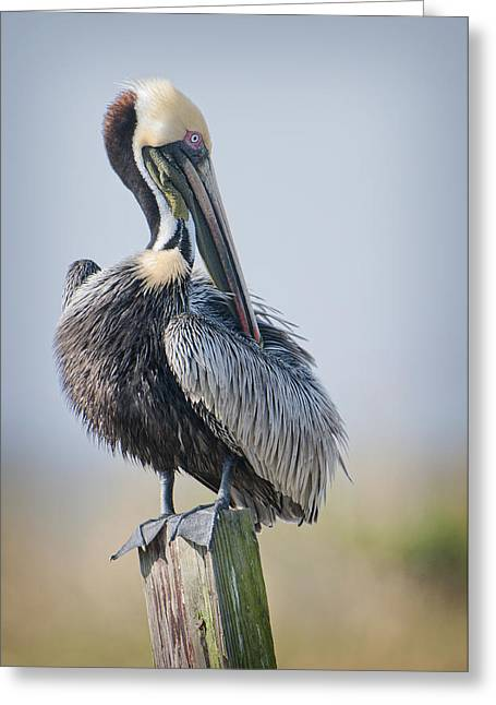 Preening Greeting Cards - Preening Pelican Greeting Card by Bonnie Barry