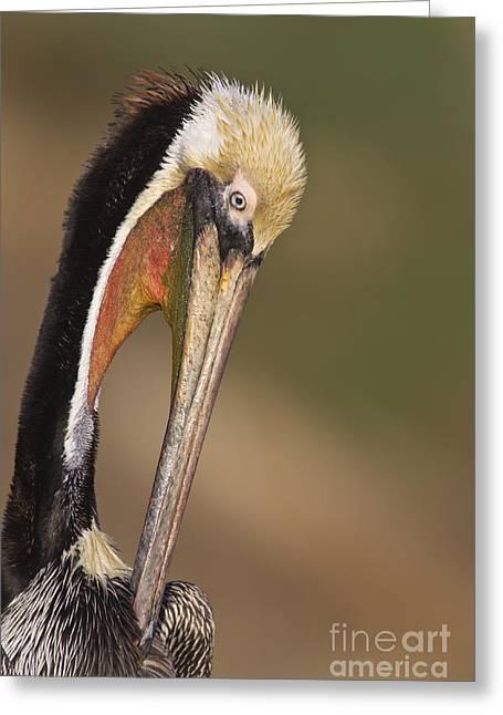 Preening Pelican Greeting Card by Bryan Keil