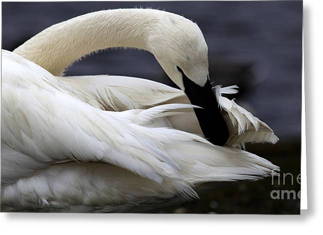 Best Goose Pictures Greeting Cards - Preening Swan Greeting Card by Sue Harper