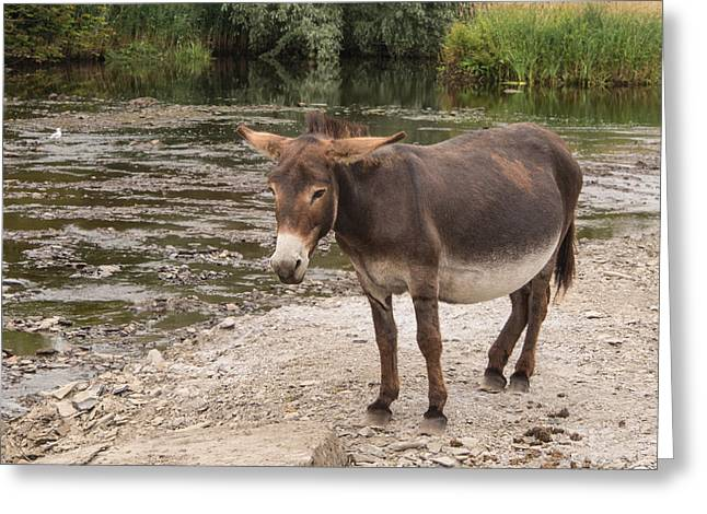 Ennistymon Greeting Card featuring the photograph Pregnant Donkey by Ron St Jean