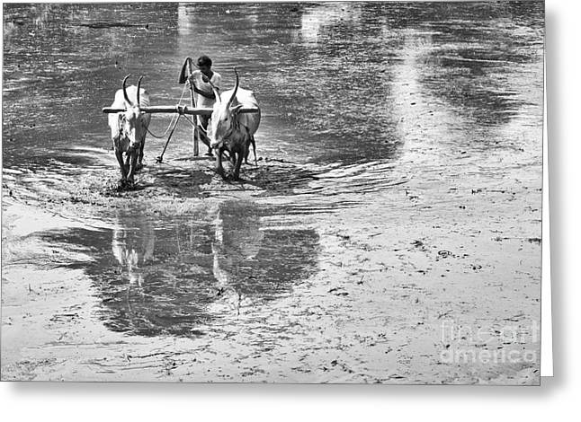 Mud Greeting Cards - Preparing a Rice Paddy Greeting Card by Tim Gainey