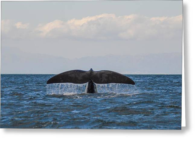 Right Whale Breach Greeting Cards - Preparing to dive Greeting Card by Catherine Withers-Clarke