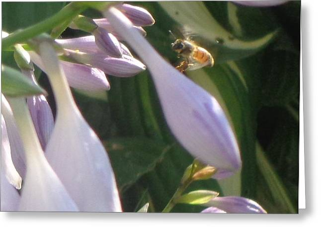 Hostas In Bloom Greeting Cards - Preparing to Land Greeting Card by Christina Verdgeline