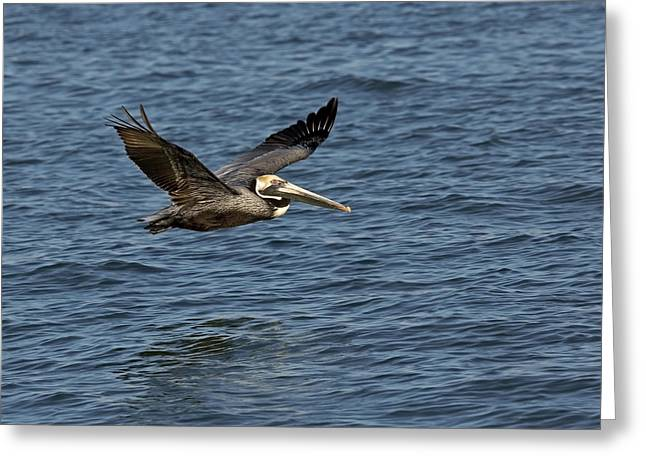 Pelicans Flying Over Water Greeting Cards - Preparing To Land Greeting Card by Gerald Marella