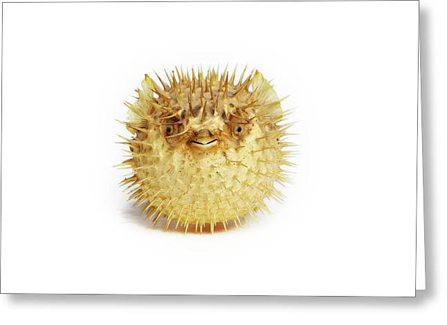 Preserved Pufferfish Greeting Card by Gregory Davies