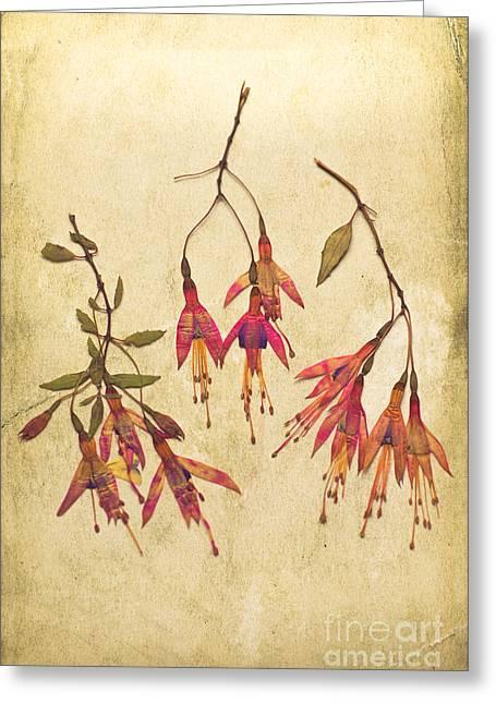 Pressed Fuchsia Flowers Greeting Card by Jan Bickerton
