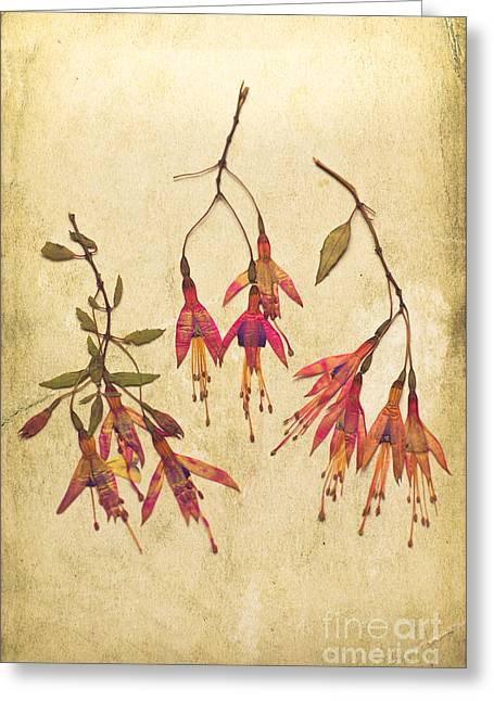 Sprig Greeting Cards - Pressed Fuchsia Flowers Greeting Card by Jan Bickerton