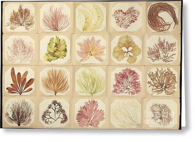 Dried Seaweed Greeting Cards - Pressed Seaweed Specimens Greeting Card by Natural History Museum, London