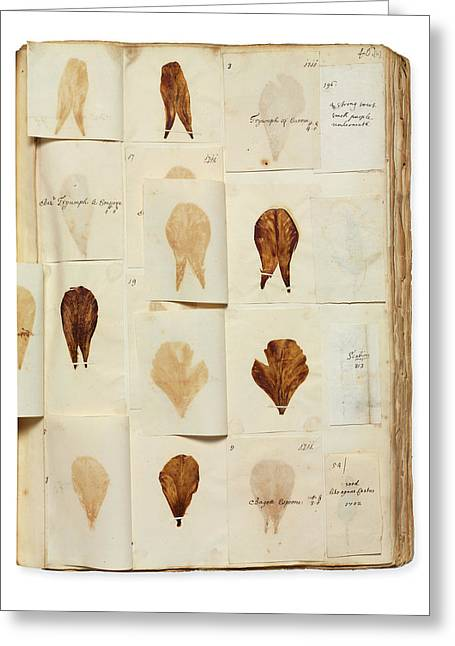 Pressed Tulip Specimens Greeting Card by Natural History Museum, London