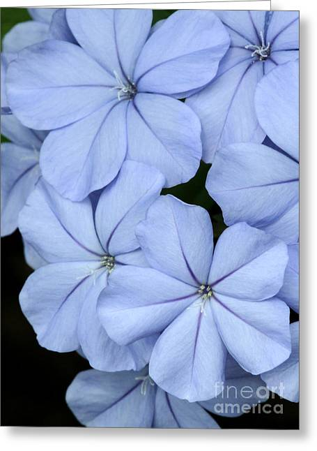 Florida Flowers Greeting Cards - Prettiest Plumbago Greeting Card by Sabrina L Ryan