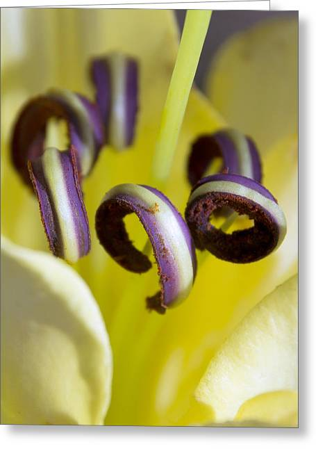 Moyers Greeting Cards - Pretty anthers within a Stargazer Lily Greeting Card by Dana Moyer