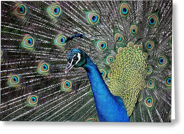 Pretty As A Peacock Greeting Card by Paulette Thomas