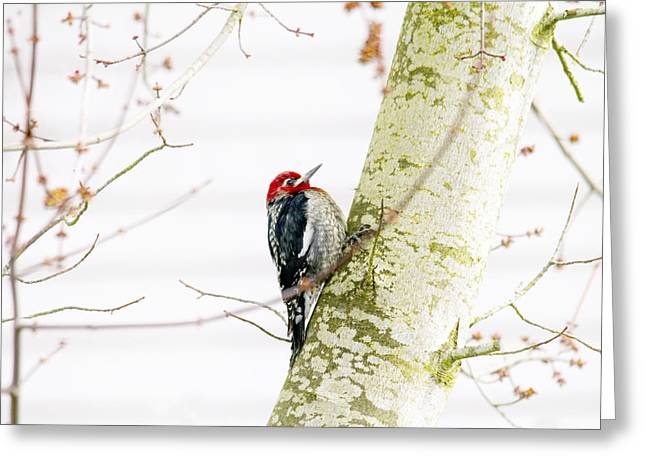 Woodpeckers Greeting Cards - Pretty Bird Greeting Card by Rebecca Cozart