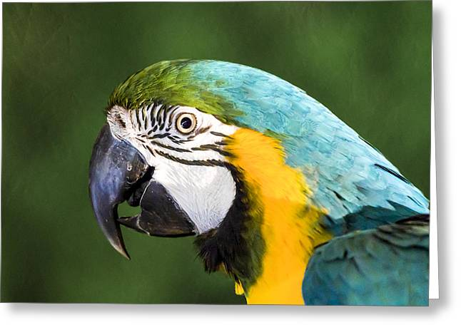 Macaw Parrot Greeting Cards - Pretty Boy Greeting Card by Caitlyn  Grasso
