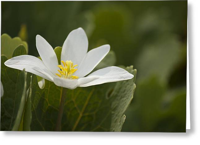 Bloodroot Greeting Cards - Pretty But Poisonous Greeting Card by Penny Meyers