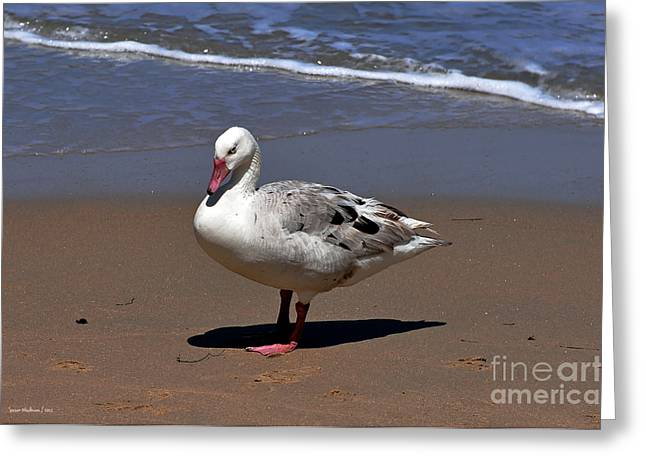 Mother Goose Greeting Cards - Pretty Goose Posing on Monterey Beach Greeting Card by Susan Wiedmann