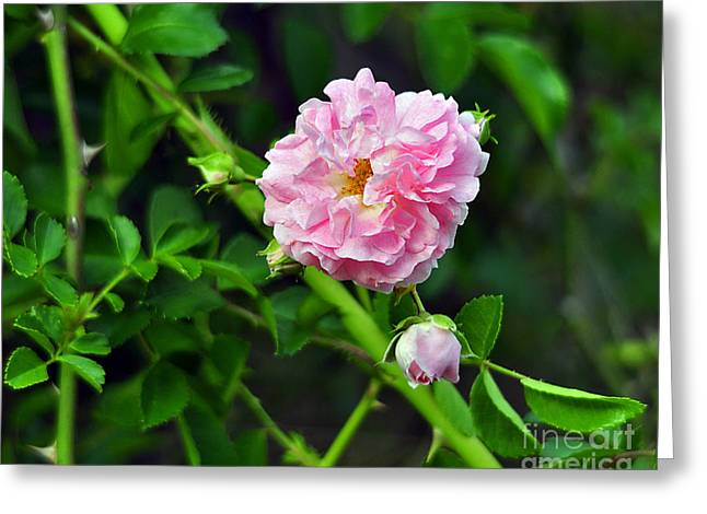 Pink Flower Prints Greeting Cards - Pretty in Pink Greeting Card by Al Powell Photography USA