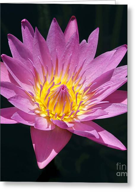 Florida Flowers Greeting Cards - Pretty in Pink and Yellow Water Lily Greeting Card by Sabrina L Ryan