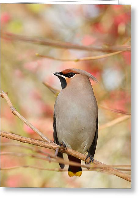Bohemian Greeting Cards - Pretty in Pink _Bohemian waxwing Bombycilla garrulus Greeting Card by Roeselien Raimond