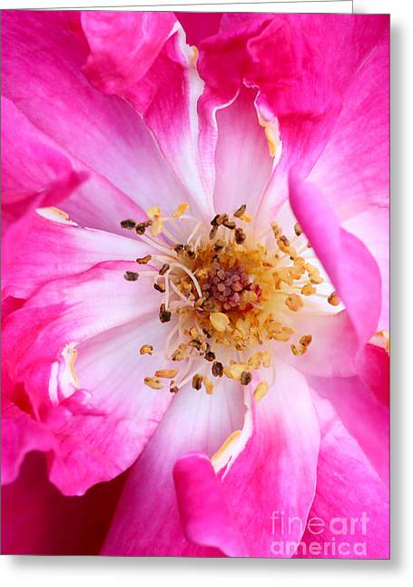 Florida Flowers Greeting Cards - Pretty in Pink Rose Close Up Greeting Card by Sabrina L Ryan