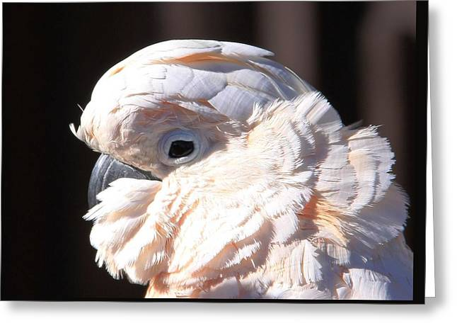 Pretty In Pink Salmon-crested Cockatoo Portrait Greeting Card by  Andrea Lazar