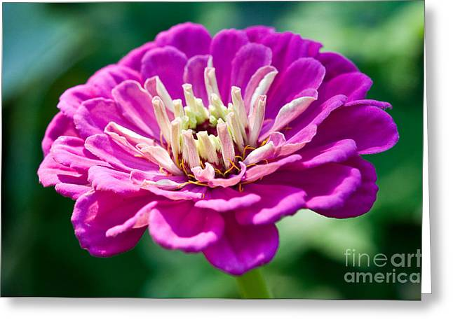 Macro Flower Photography Greeting Cards - Pretty In Pink Greeting Card by Terry Elniski