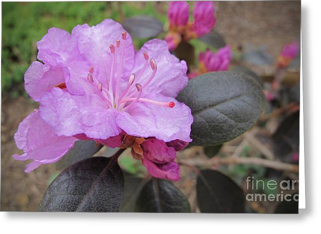 Azalias Greeting Cards - Pretty In Pink Three Greeting Card by Arlene Carmel