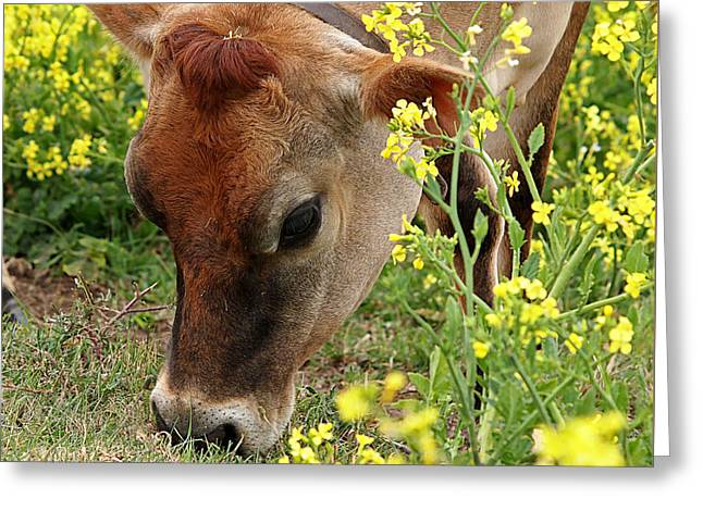 Jersey Cow Greeting Cards - Pretty Jersey Cow Square Greeting Card by Gill Billington