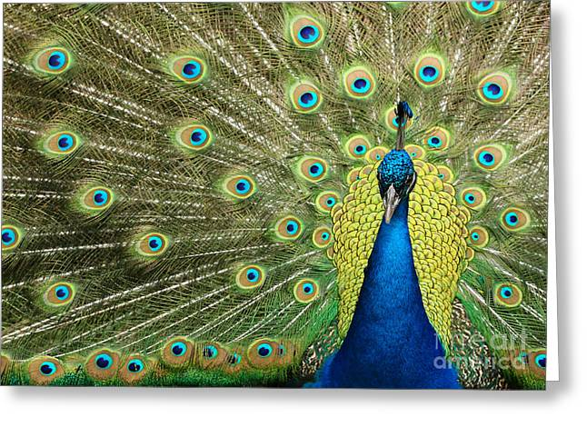 Amazing Greeting Cards - Pretty Peacock Greeting Card by Sabrina L Ryan
