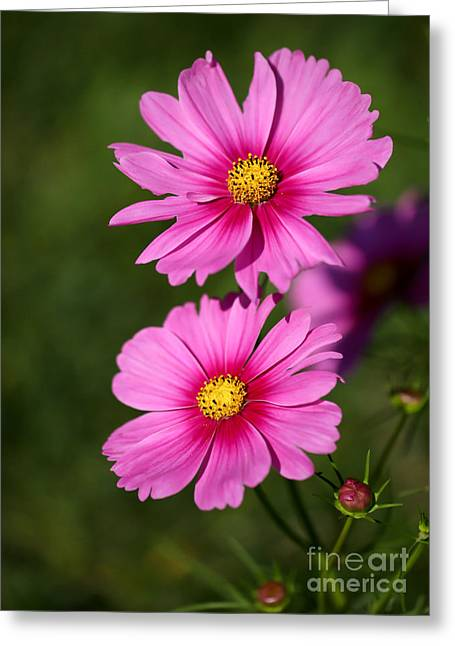 Florida Flowers Greeting Cards - Pretty Pink Cosmos Twins Greeting Card by Sabrina L Ryan