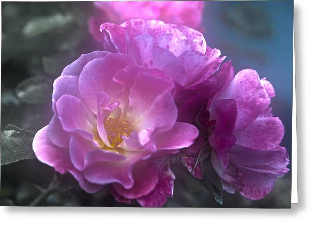 Pretty Pink Roses Greeting Card by Judy Hall-Folde