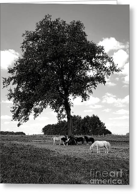 Equus Ferus Greeting Cards - Pretty Ponies under a Tree Greeting Card by Olivier Le Queinec