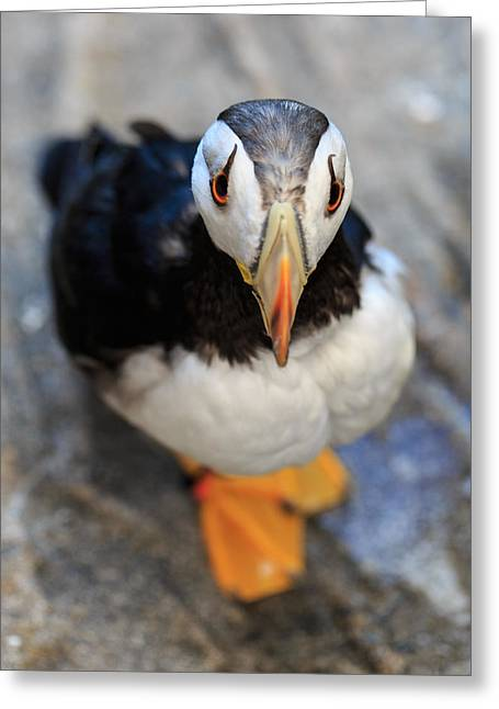 Seabirds Greeting Cards - Pretty Puffin Greeting Card by Jennifer Casey