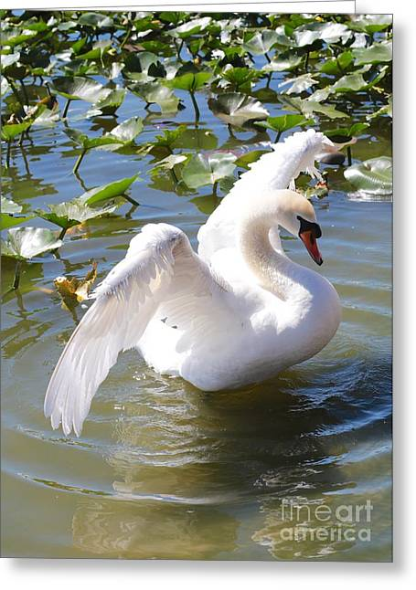 Glassy Wing Photographs Greeting Cards - Pretty Swan Greeting Card by Carol Groenen