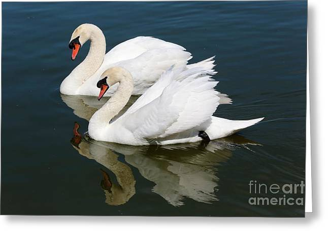 Pretty Swan Pair Greeting Card by Carol Groenen