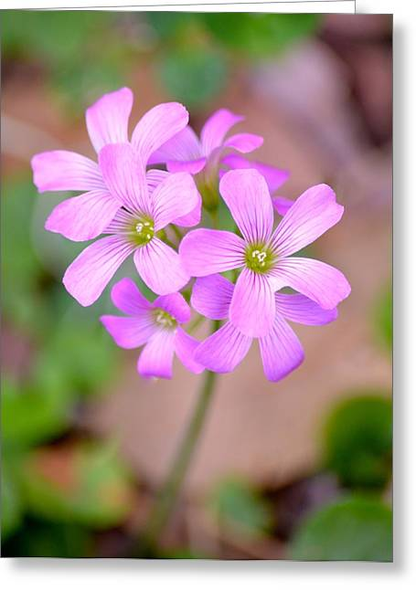 Corymbosa Greeting Cards - Pretty Wood Sorrel  Greeting Card by Richard Bryce and Family