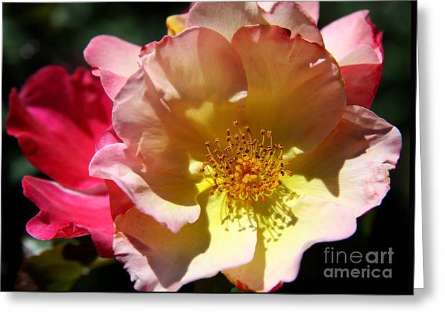 Yelllow Greeting Cards - Prettyness Of A Rose Greeting Card by Christiane Schulze Art And Photography