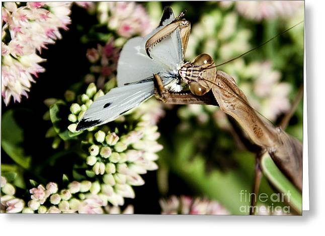 Butterfly Prey Greeting Cards - Preying Mantis 6 Greeting Card by Lance Theroux