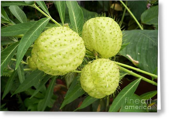 Capsule Greeting Cards - Prickly Balloon Plant Greeting Card by Lingfai Leung