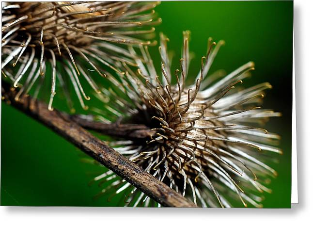 Burr Greeting Cards - Prickly Greeting Card by Lois Bryan