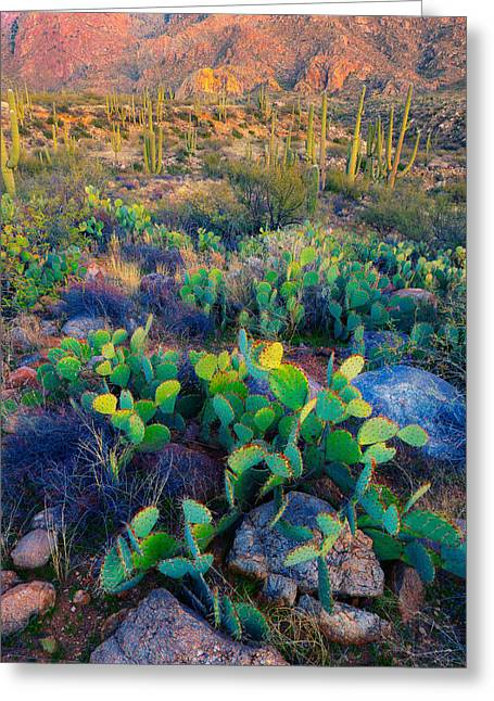 Ocotillo Cactus Greeting Cards - Prickly Pear And Saguaro Cacti, Santa Greeting Card by Panoramic Images