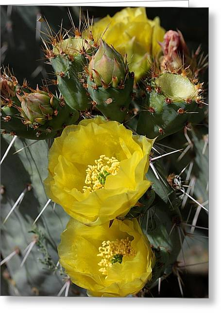 Botanical Greeting Cards - Prickly Pear Blossoms and Buds Greeting Card by Joe Kozlowski