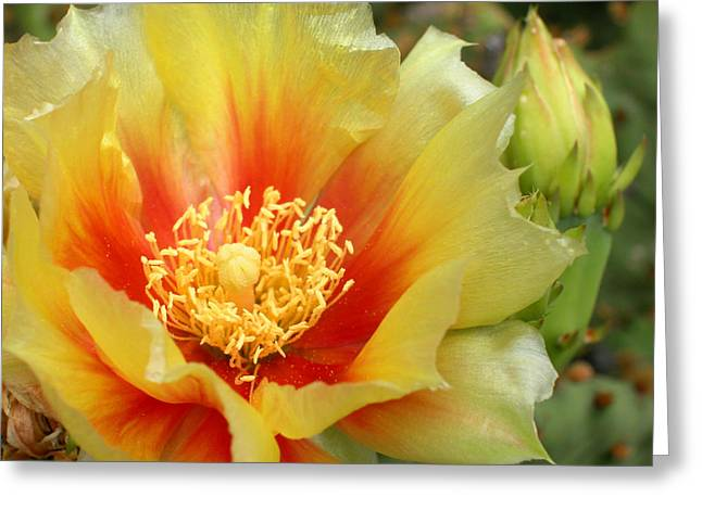 Cactus Flower Greeting Cards - Prickly Pear Flower and Bud. Greeting Card by Rob Huntley